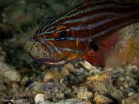 Western Striped Cardinafish